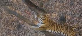 Козел Тимур пытался залезть на дерево, подражая тигру Амуру