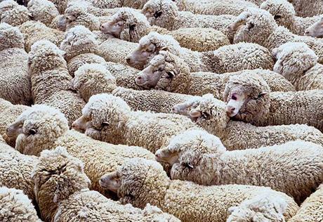 В Оренбуржье отару овец пустили на консервы из-за бруцеллеза