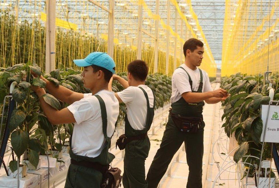 На производстве используется технология голландской компании Dalsem. Уже сейчас на производстве трудоустроено порядка 150 человек.  Продукция комплекса - огурцы и помидоры - ориентирована на внутренний рынок (Алматы и северные регионы Казахстана), а также на рынки соседней России.