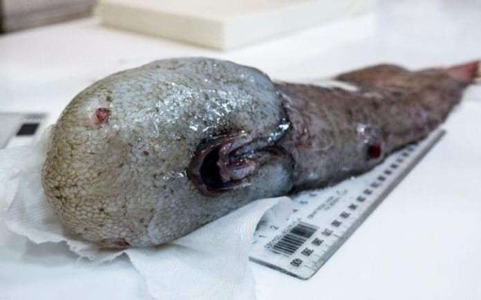 """Ученые впервые за 150 лет поймали таинственную """"рыбу без лица"""""""