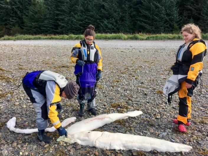 Напляже Аляски наберег выбросило таинственное существо