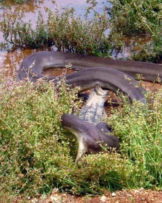 В Австралии засняли питона, который целиком съедает крокодила