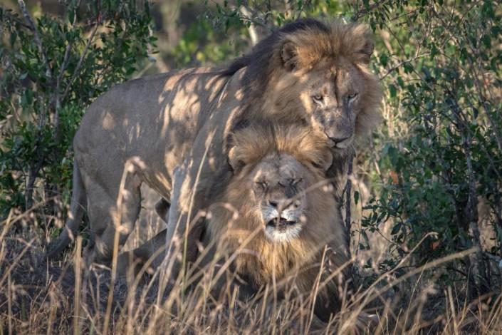 Gay львы