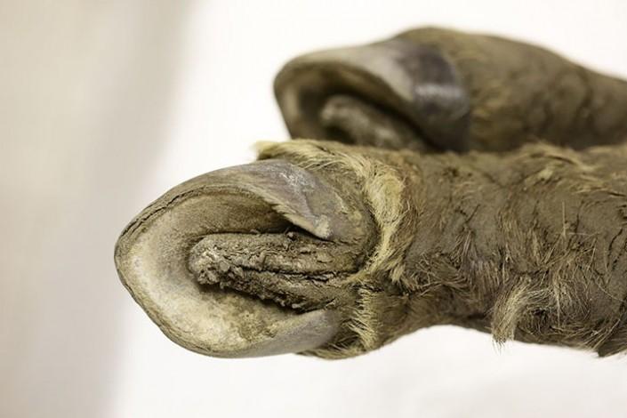 Уникальную находку сделали в 42000-летней туше якутского жеребенка