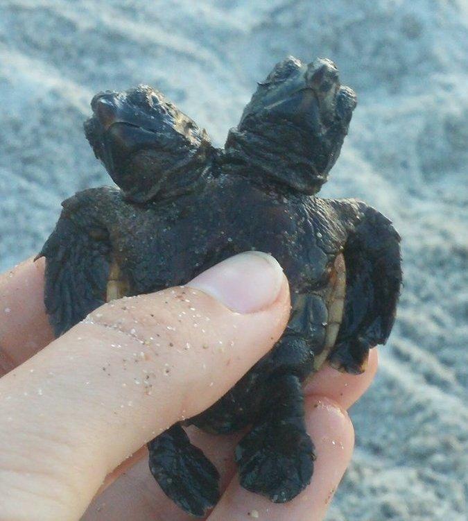 Черепаху с двумя головами нашли во Флориде