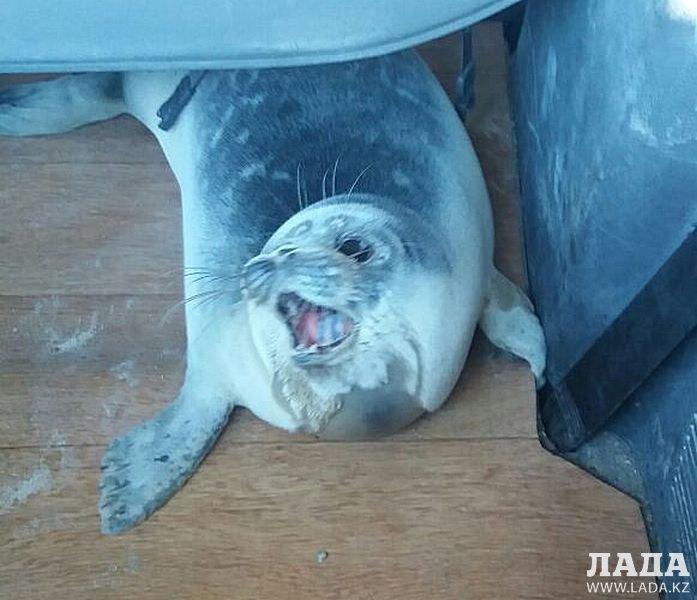 ВМангистау пытаются выяснить, почему постепи ползают тюлени