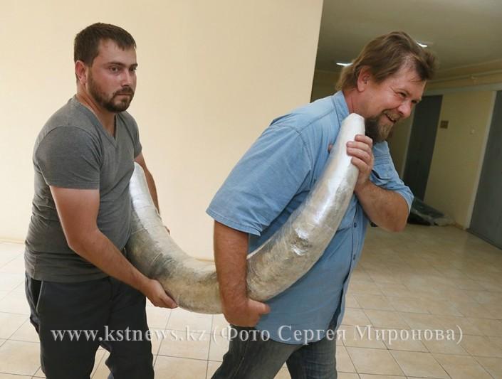 60-килограммовый бивень мамонта нашли в угольном карьере в Костанайской области