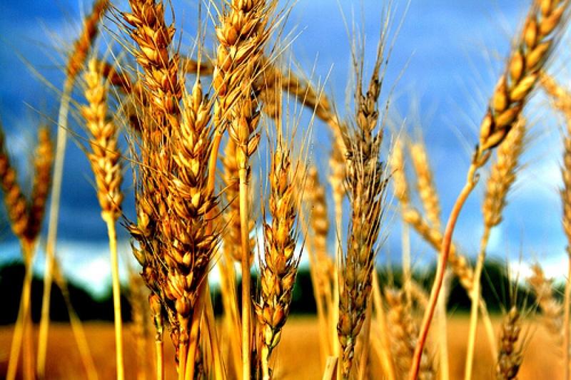 Казахстанское зерно может обрушить цены на муку в России ...