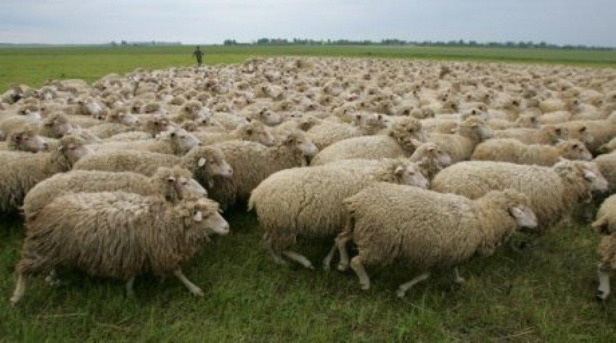 Бруцеллез у человека, бруцеллез овец и коз