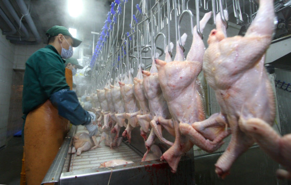 chicken meat production acmf - 1200×766