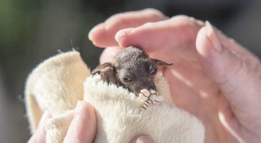 Фото Дин Морган/Australian Bat Clinic and Wildlife Trauma Centre