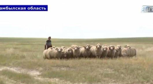 Вес новой породы баранов достигает 120 килограммов. © 24.kz