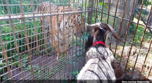 Тигр Амур и козел Тимур встретились после разлуки