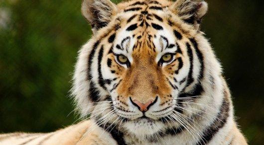 Ветераны спецназа взяли шефство над тиграми в Алматинском зоопарке