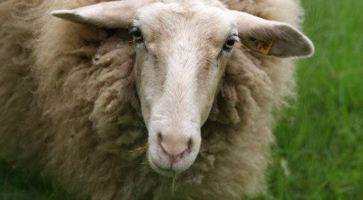 На 3,5 миллиона тенге оштрафовали полицейских за взятку в виде овцы в Актюбинской области
