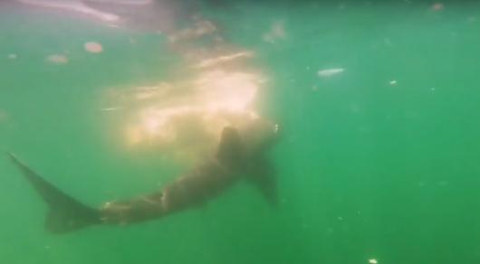 Ученые сняли на видео поедание туши кита белой акулой