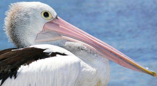 Казахстанец пытался провезти наАлтай 70 голов краснокнижных пеликанов
