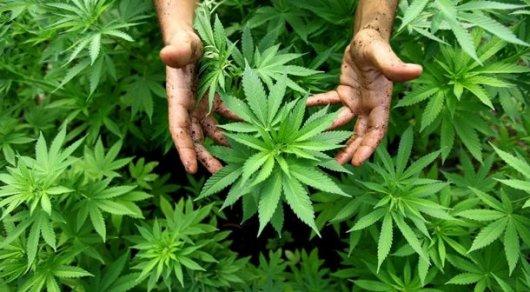 Новую опасность марихуаны выявили ученые США