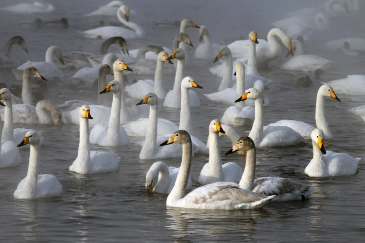 Алтайский край картинки с района советского на озере где лебеди, утро прекрасных выходных