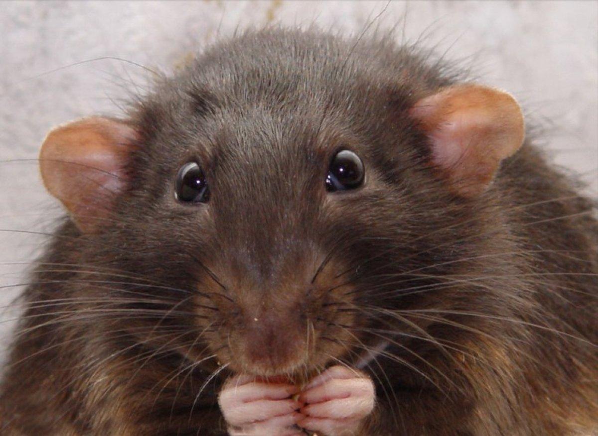 Пламя, картинки крыса смешные