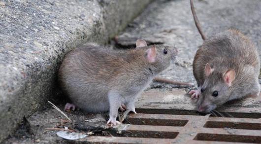 Власти Нью-Йорка обеспокоены нашествием крыс