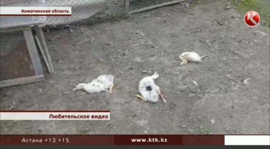 "Охота на кур: в Алматинской области объявилась ""чупакабра"""