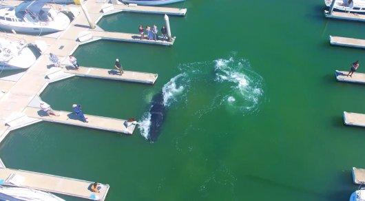 Горбатый кит застрял в гавани у побережья Калифорнии