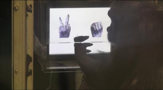 """Японцы научили шимпанзе играть в """"камень, ножницы, бумага"""""""