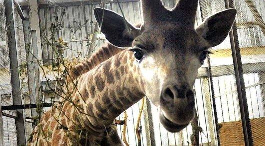 Зоопарк Алматы хочет продать жирафенка Максима