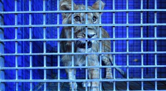 Житель Шымкента подарил цирку львенка, которого полгода содержал дома