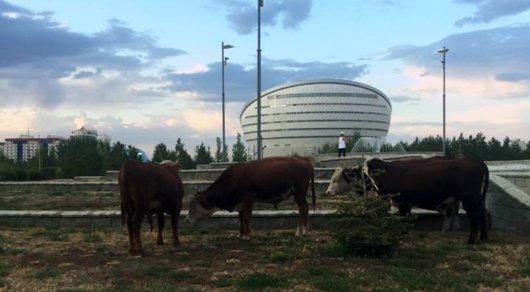 Видео с коровами возле