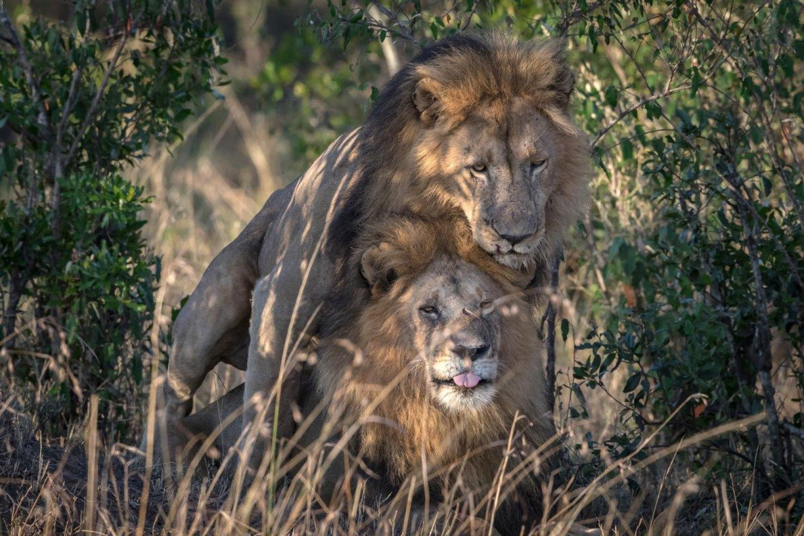 Male and female lion affection