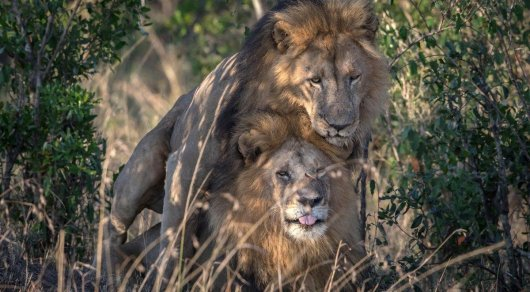 Гомосексуальные отношения у льво