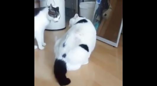 Оригинально остановивший драку упитанный кот стал звездой интернета