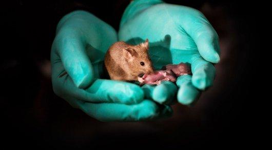 Ученые получили потомство от двух мышей-самцов