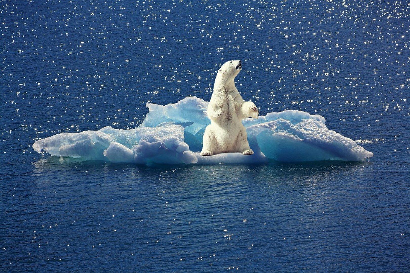 Белые медведи вынуждены охотиться на мышей из-за отсутствия льда