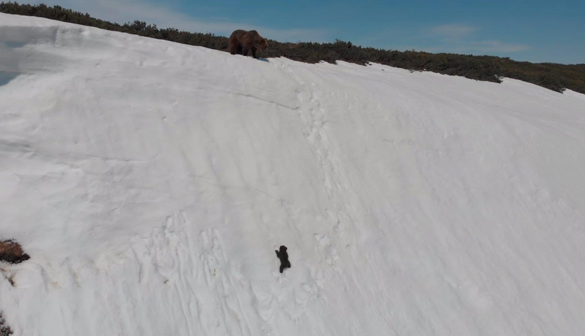 Вирусный ролик с карабкающимся по склону медвежонком объяснили