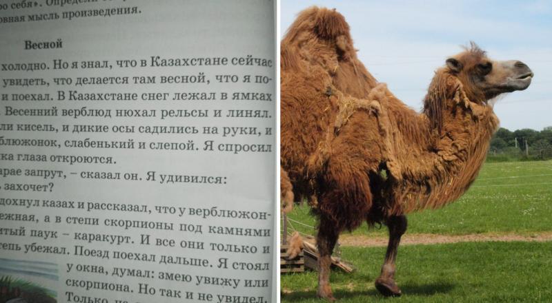 Когда верблюд линяет. Правильный уход за верблюдами. – zoovest.ru | 440x800