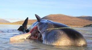 Фото: © Scottish Marine Animal Strandings Scheme
