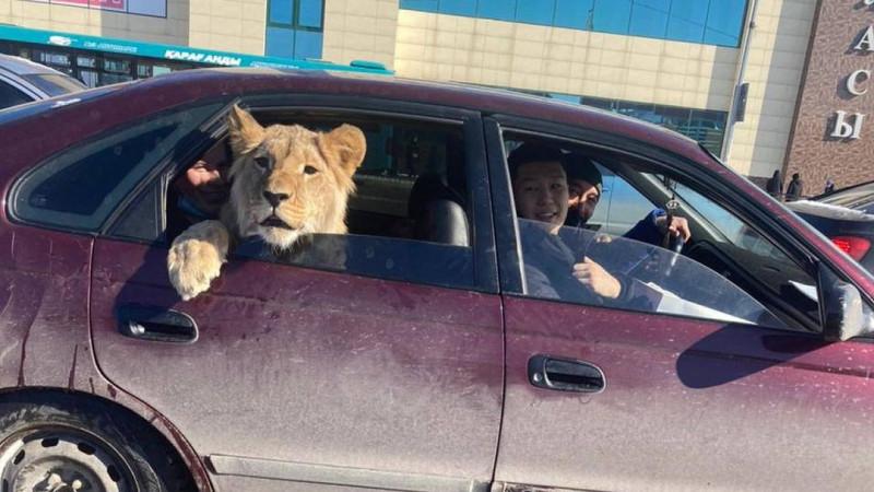 Льва в машине засняли в Караганде